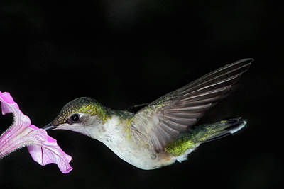 Photograph - Little Miss Hummer by Theo