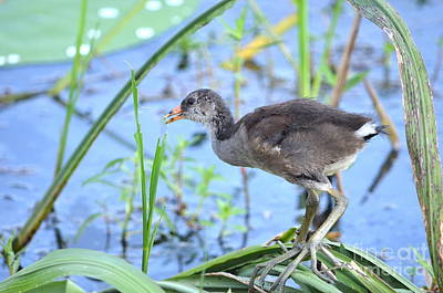 Photograph - Little Moorhen by Kathy Gibbons