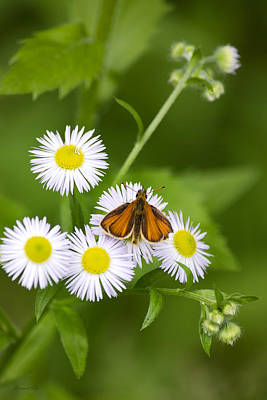 Photograph - Little Orange Skipper by Christina Rollo