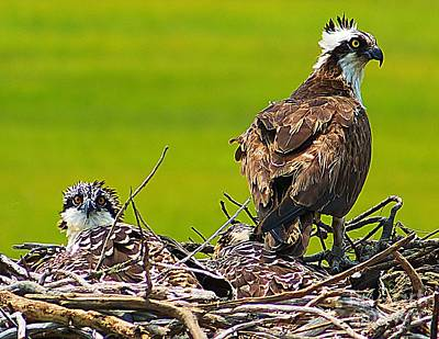 Photograph - Little Osprey by Nick Zelinsky
