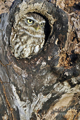Photograph - Little Owl 3 by Arterra Picture Library