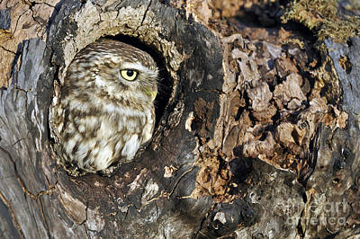 Photograph - Little Owl 4 by Arterra Picture Library