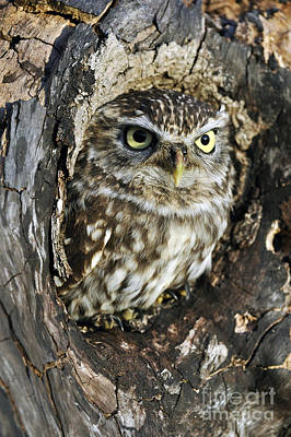 Photograph - Little Owl 6 by Arterra Picture Library