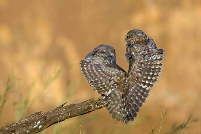 Little Owl Athene Noctua Couple Art Print by Photostock-israel