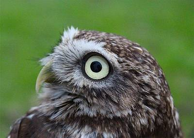 Photograph - Little Owl by Ed Pettitt