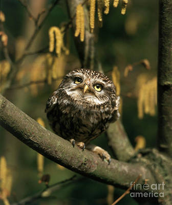 Photograph - Little Owl by Hans Reinhard
