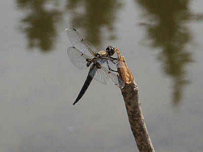 Photograph - Little Payette Dragonfly by Tarey Potter