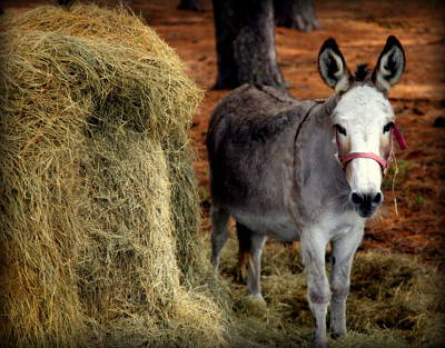 Hay Rides Photograph - Little Pedro by Karen Wiles