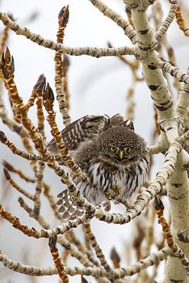 Pygmy Owl Wall Art - Photograph - Little Puffball by Sandy Sisti