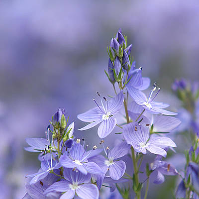 Photograph - Little Purple Flowers - Square by Gill Billington