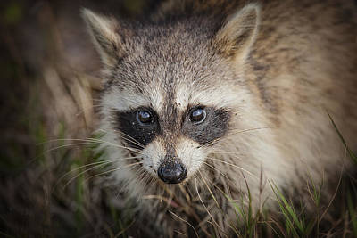 Raccoon Photograph - Little Raccoon In The Marsh by Bonnie Barry