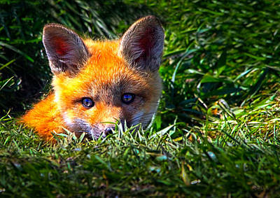 Uplifting Photograph - Little Red Fox by Bob Orsillo