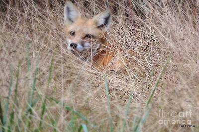 Photograph - Little Red Fox by Tami Quigley