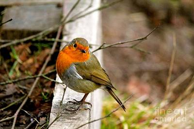 Photograph - Little Robin Red Breast by David Grant