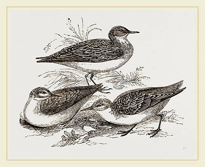 Sandpiper Drawing - Little Sandpipers by Litz Collection