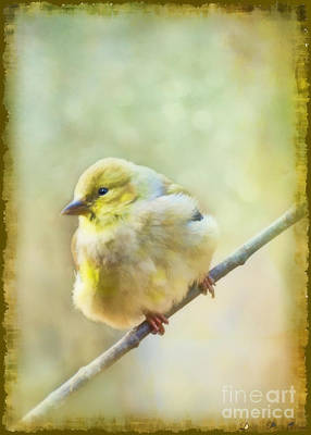 Photograph - Little Softie Gold Finch - Digital Paint by Debbie Portwood