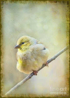 Photograph - Little Softie Gold Finch II by Debbie Portwood