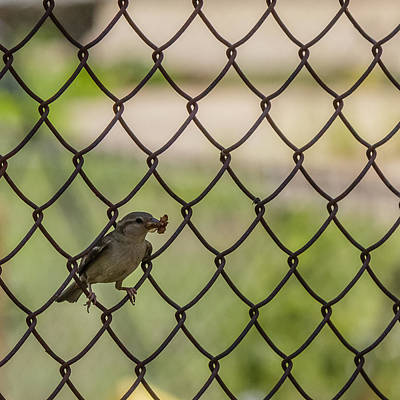 Comic Character Paintings - Little sparrow on the fence by SAURAVphoto Online Store