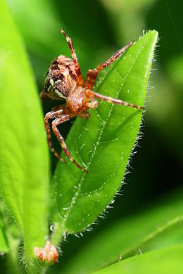 Photograph - Little Spider by Jeremy Hayden