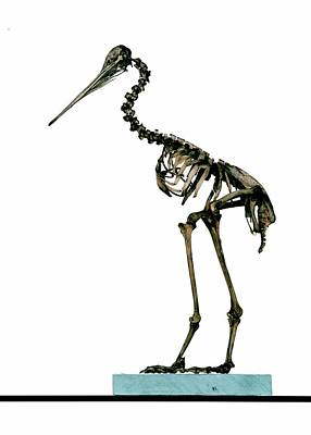 Kiwi Bird Photograph - Little Spotted Kiwi Skeleton by Ucl, Grant Museum Of Zoology