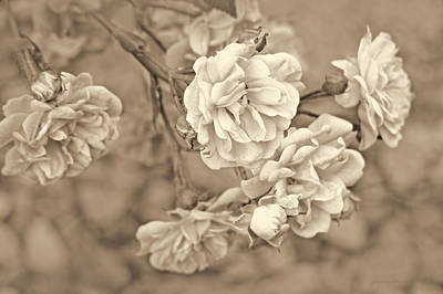 Photograph - Little Tea Roses Brown by Jennie Marie Schell