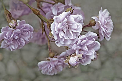 Photograph - Little Tea Roses Purple by Jennie Marie Schell