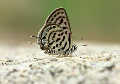 Pattern Photograph - Little Tiger Blue Butterfly by Bob Gibbons