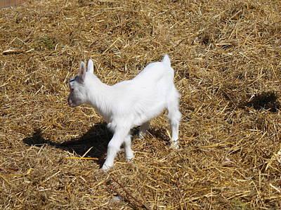 Little White Goat Art Print by Carolyn Ricks