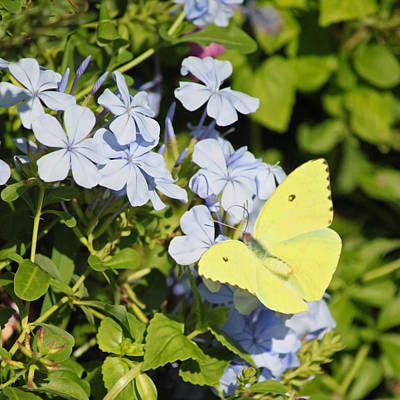 Little Yellow Butterfly On Phlox II Art Print by Suzanne Gaff