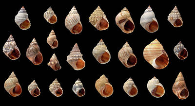 Whorl Photograph - Littorina Sp by Natural History Museum, London