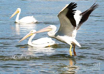 Photograph - Live Action - Pelican In Flight by Carol Groenen