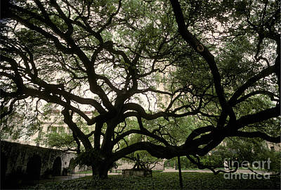 Historic Site Photograph - Live Oak At The Alamo, Texas by Ron Sanford