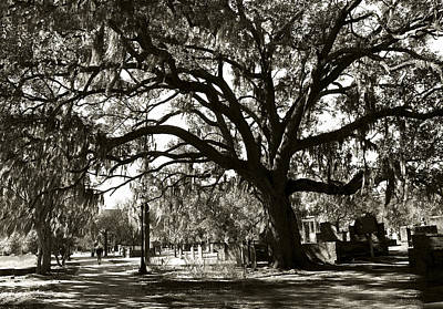 Photograph - Live Oak by Carol Erikson