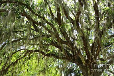 Photograph - Live Oak In Springtime by Carol Groenen
