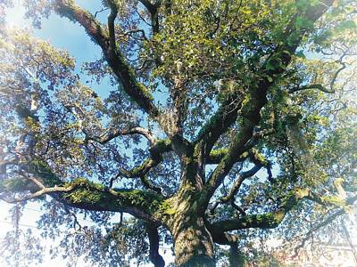 Photograph - Live Oak by Joe Duket