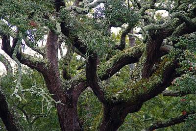 Photograph - Live Oak Tree by Kathryn Meyer