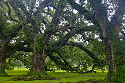 Photograph - Live Oak Trees by Denise Mazzocco