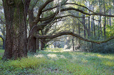 Photograph - Live Oak Trees In Charleston South Carolina by Pierre Leclerc Photography