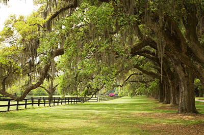 Live Oak Trees In Charleston Art Print