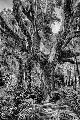 Photograph - Live Oak Washington Gardens by Howard Salmon