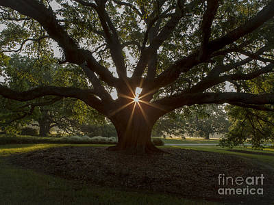Live Oak With Early Morning Light Art Print by Kelly Morvant