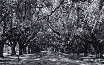 Photograph - Live Oaks In Cynotype by Jill Lang