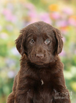 Liver Flat Coated Retriever Puppy Art Print by Mark Taylor