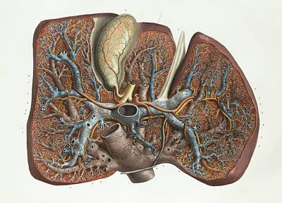 Portal Photograph - Liver by Science Photo Library