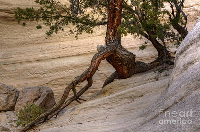 Tree Roots Photograph - Living Gracefully by Bob Christopher