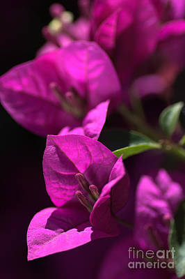 Living With Joy Photograph - Living With Bougainvillea by Joy Watson