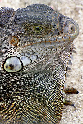 Photograph - Lizard by Bob Slitzan