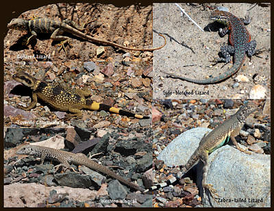 Collared Lizard Photograph - Lizard Collage by David Salter