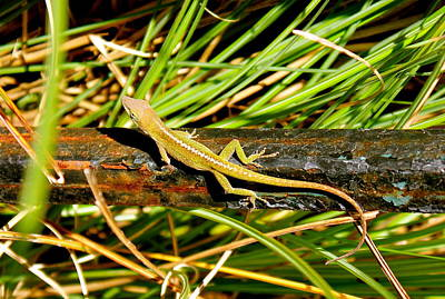 Art Print featuring the photograph Lizard by Cyril Maza