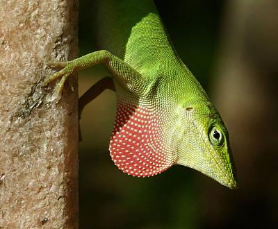 Photograph - Lizard by Daniel Woodrum
